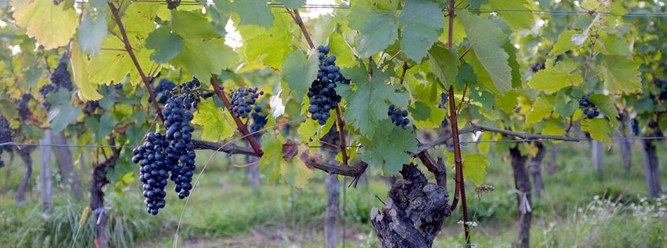 Weninger – Horitschon Vineyard