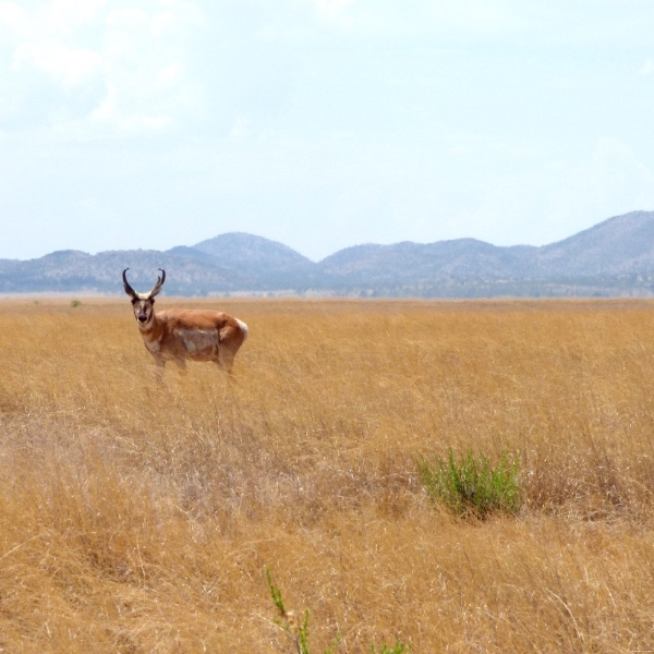 The namesake Pronghorn roaming in the grasslands of Sonoita